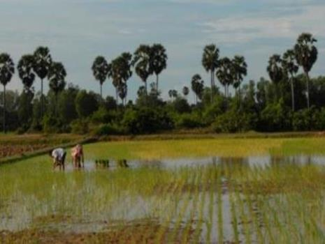 Rice farmers in rural Cambodia
